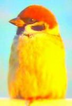 sparrow_yellow.png